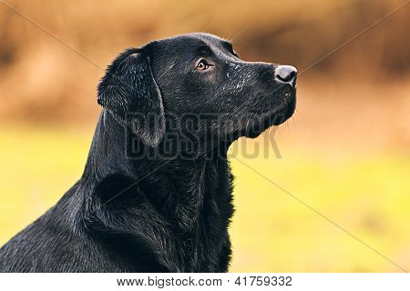Shot of a Black Labrador in Countryside