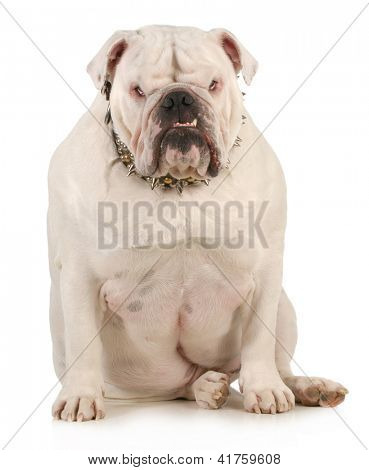 guard dog - english bulldog wearing spiked collar with intimidating expression on white background
