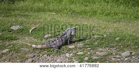 Large Iguana Heating Himself Of Nearby Rocks In Grass