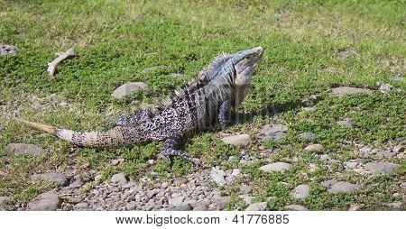 Large Iguana Sitting On Nearby Rocks In Grass