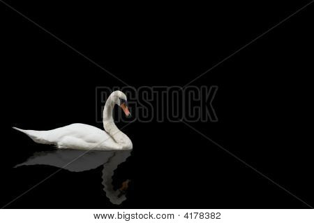 Swan On Black Background
