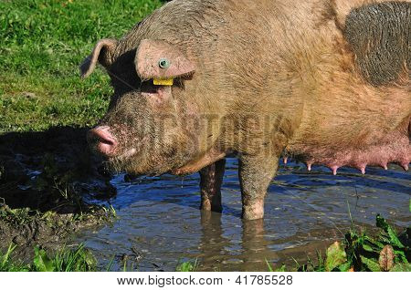 Pigs In Mud