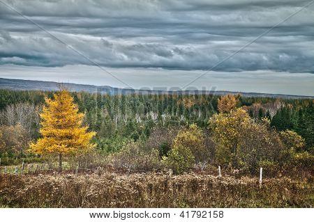 Yellow Larch tree autumn landscape