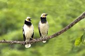 Black-collared Starling : Sturnus  Nigricollis