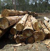 Logging Spotted Gum Eucalyptus  Corymbia Citriodora