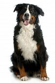 pic of long tongue  - bernese mountain dog sitting looking at viewer isolated on white background - JPG