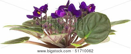Dark Purple Saintpaulia Isolated On White Background
