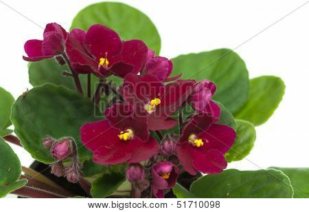 Dark Red Saintpaulia Isolated On White Background