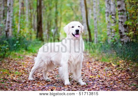 golden retriever dog in the forest
