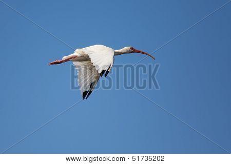 Soaring White Ibis