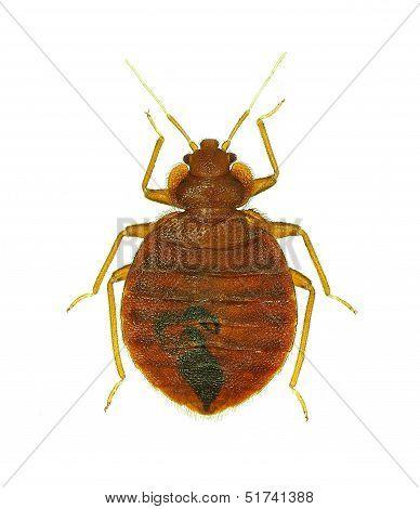 Bedbug (Cimex lectularius)