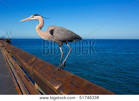 Great blue Heron Ardea cinerea in Newport pier California USA