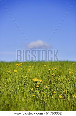 Field with dandelions towards blue sky
