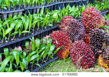Seedlings Of Oil Palm