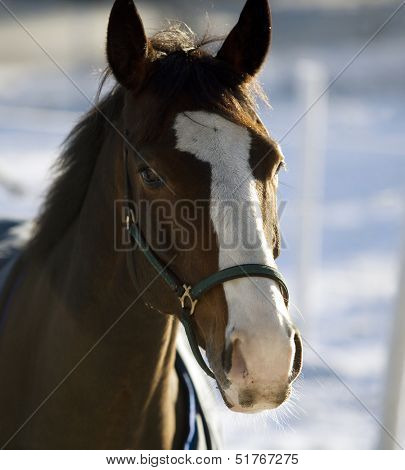 Single Horse in a winter landscape