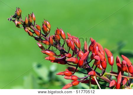 Flowers Of Erythrina Crista-galli