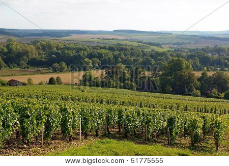 Vineyard of the hillsides of Chablis (Burgundy France)