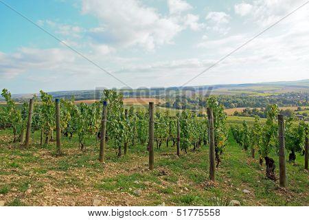 Vineyards, Chablis Burgundy (France)
