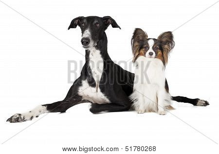 Two dogs (Papillon and Hort greyhound)