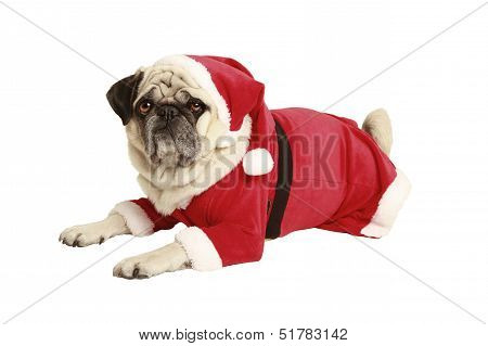 Pug In Santa Costume Lies And Looks