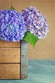 pic of hydrangea  - Purple and blue hydrangea flowers with rustic wooden background - JPG