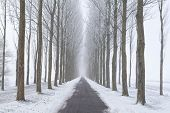 picture of row trees  - bike path between frosted tree rows in winter fog - JPG