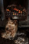 image of yorkie  - a shot of a tiny cupcake yorkie dog sitting cosy on a carpet in front of a roaring fire - JPG