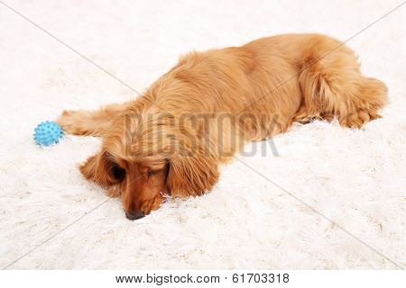 Beautiful cocker spaniel on white carpet