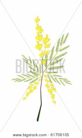 Fresh Sesbania Javanica Plant On White Background