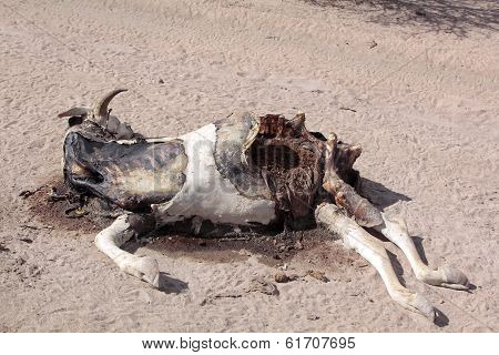 Dead Cow On The Ground, Somalia, Africa