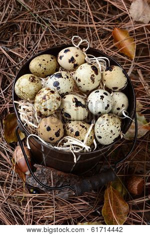 High angle view of an old bucket filled with Quail eggs. The pail is amongst acorns, pine needles and leaves on a forest floor.