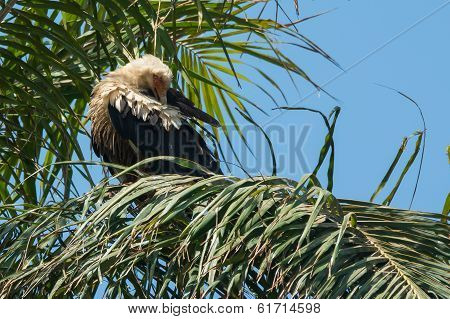 Palm-nut Vulture Preening In A Palm Tree