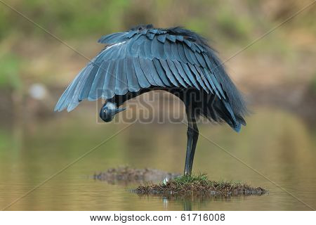 Western Reef Heron Peaking From Under Its Wing