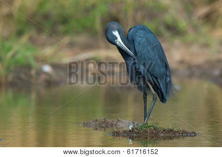 Western Reef Heron Preening On Small Island In A Pond