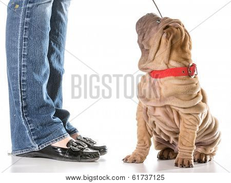 dog training - chinese shar pei sitting with collar and leash on looking up at owner isolated on white background