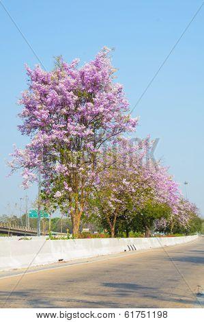 Cananga Tree