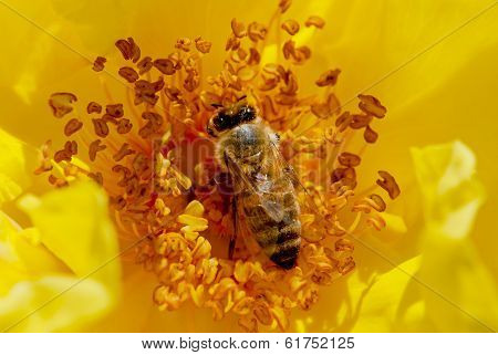 Bee Pollinates A Yellow Rose