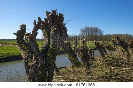 Row of pollard willows along a river in winter