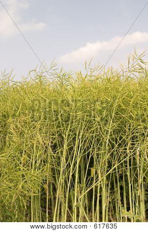 Oilseed Rape Ready For Harvest