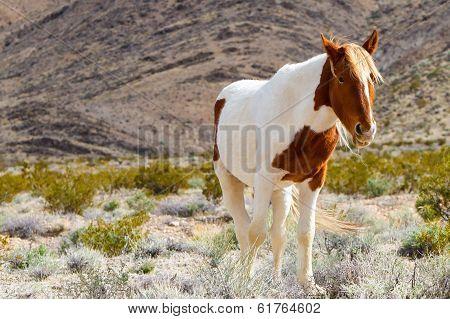 Western Wild Horse