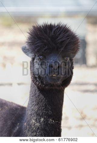 Black Peruvian Alpaca - Vicugna pacos