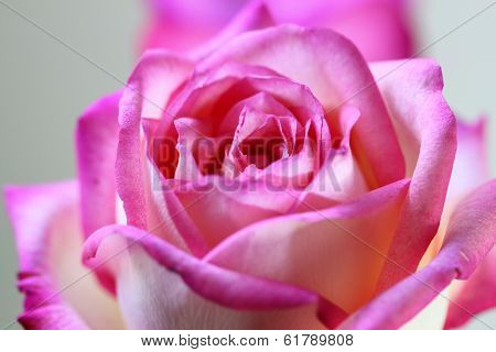 Close Up Pink Fresh Rose