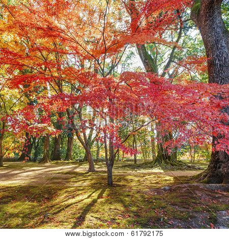 Colorful Maple Garden in Autumn in Kyoto