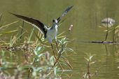 Black-winged Stilt Landing In A Shallow Pond