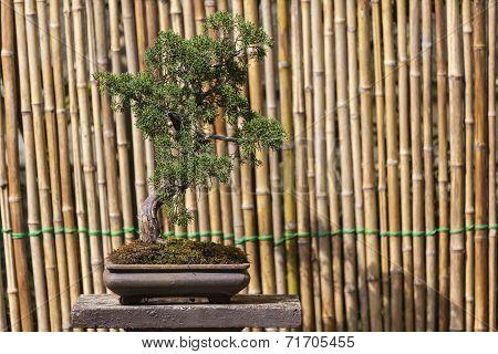 Beautiful Pomegranate Bonsai Tree
