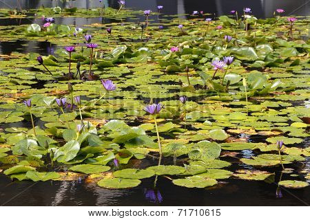 A Display of Beautiful Water Lilies