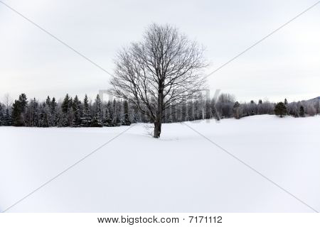 Barren Tree In The Snow