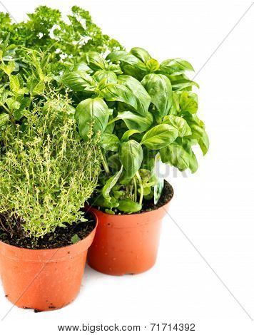 Fresh Green Herbs In Gardening Pots On White