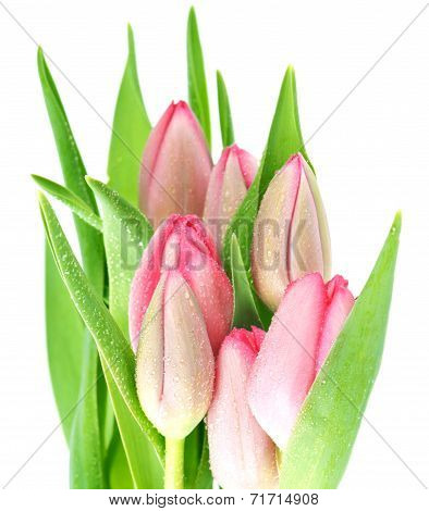 Fresh Spring Pink Tulip Flowers With Water Drops