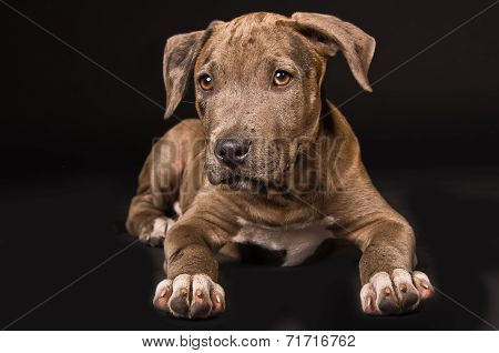 Cute puppy pitbull